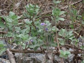 6 ハマゴウ花
