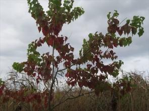 8 ナンキンハゼ紅葉