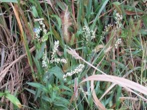 12 シロバナサクラタデ花