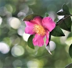 201026114サザンカが咲き始めた