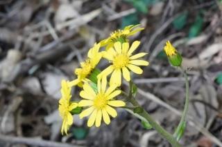201026119ツワブキも咲き始めた