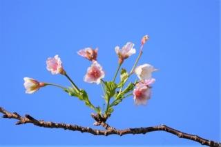 201026122サクラの花が楽しめた