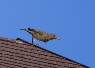 201026104屋根から飛び出すイソヒヨドリ♀
