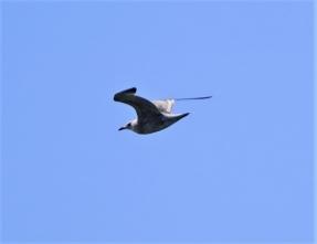 201026106海上を飛ぶセグロカモメ幼鳥