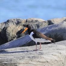 201026109この島では、初記録のミヤコドリ
