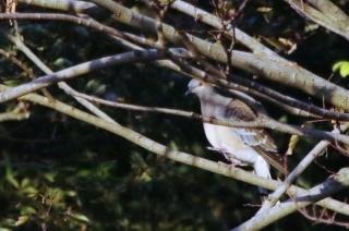 201026203木陰で見かけたキジバト