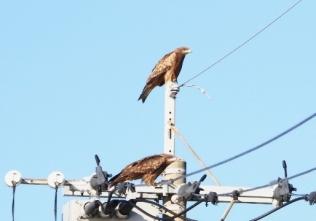 201026207電柱で休息か、2羽のトビ