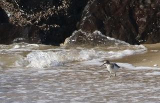 201026208水辺で食べもの探しするイソシギ
