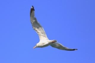 201026221海岸を飛ぶセグロカモメ