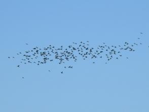 201026305渡るヒヨドリの群れ