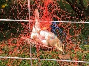 418 防鳥網にかかったばかりシロハラ(救出)