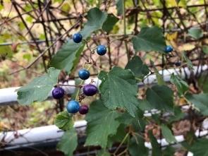 411 ノブドウの実の色が美しい