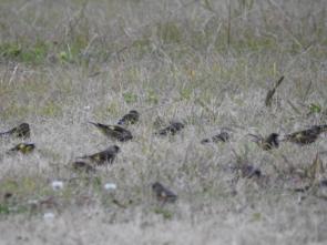 302 草地で採食中のカワラヒワの群れ