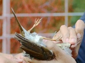 228 防鳥ネットに架かったシロハラを発見、かかったばかりの様子でした。