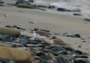 207 水辺で休息中のシロチドリ