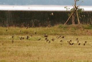 204 海岸近くの草地で採食中 群れ(50+)のカワラヒワ