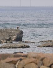 129 岩場で休息中のミサゴ