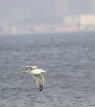 130 水面低く飛ぶセグロカモメ