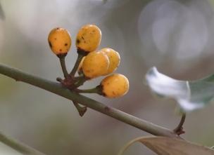 119 シロダモの黄色い実