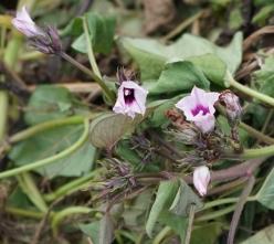 120 山中の畑で見かけたサツマイモの花、厳しい環境になると花を咲かせるという。