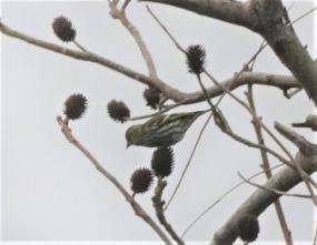 112 ノグルミの実を食べるマヒワ