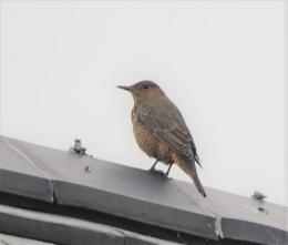 108 屋根で見かけたイソヒヨドリ♀