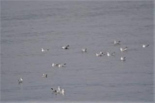 102 早朝、海上のユリカモメの群れ
