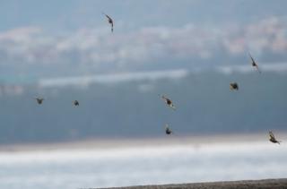 105 草地から飛び出したカワラヒワの群れ