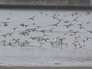 201213012 ハマシギの群れ