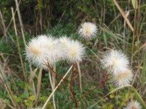 201213005 ウラギクの綿毛