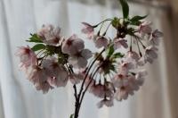 家でお花見4
