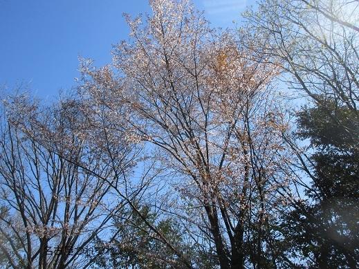 3・25緑地山桜2