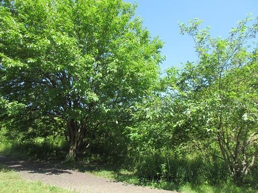 5・29緑地桑の木