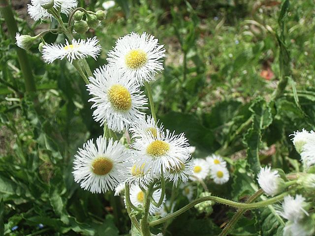 白花ハルジョオン