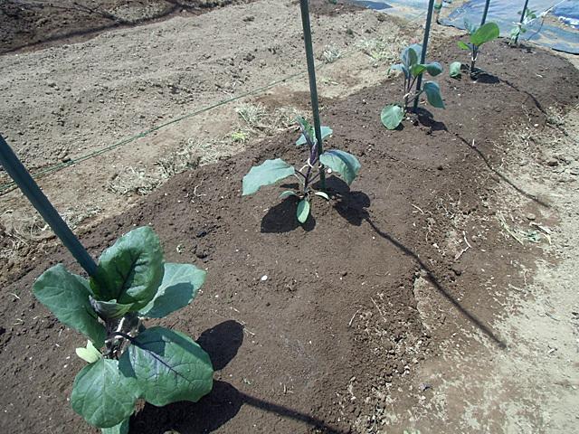 茄子を4株植えました