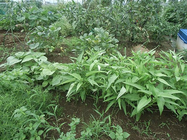 緑の野菜畑