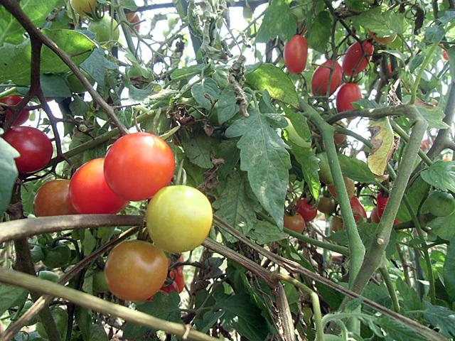 ミニトマトの森