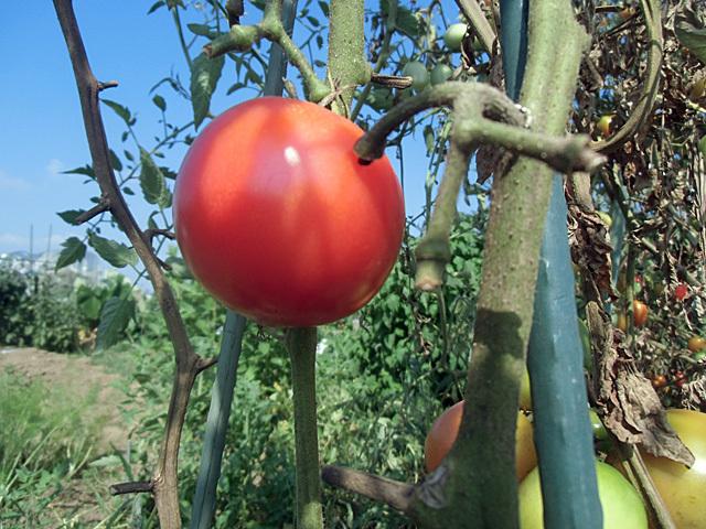 ラストトマト