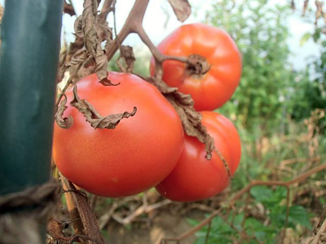 トマトのラスト