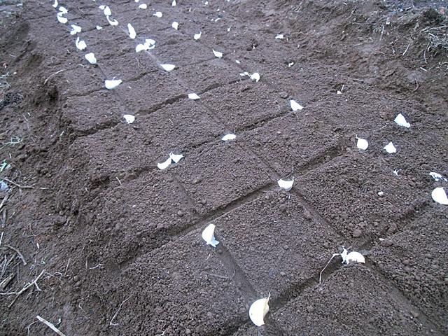 ニンニクを植えました