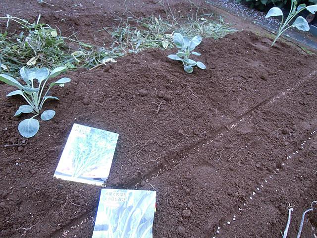 メキャベツと種まき