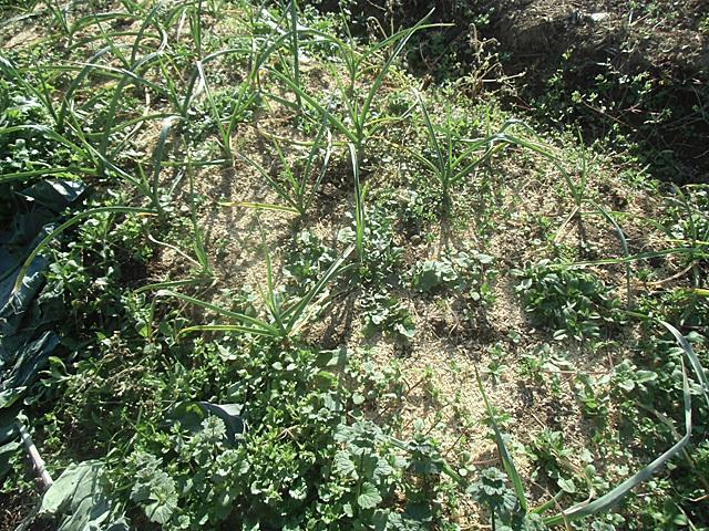 ニンニク草ぼうぼう