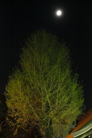 20200404tree.jpg