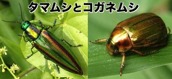 01玉虫と黄金虫