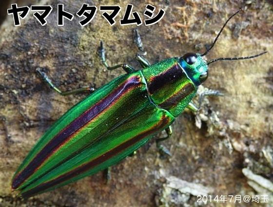 02ヤマトタマムシFC2