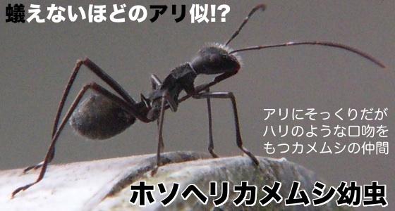 02ホソヘリカメムシ幼虫
