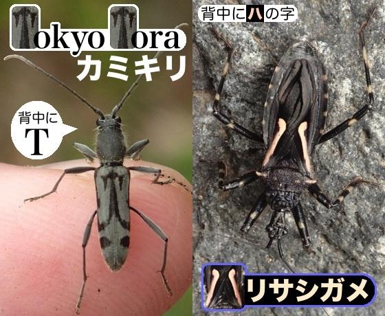 07東京虎天牛針刺亀