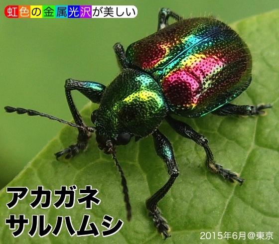 01銅猿葉虫A