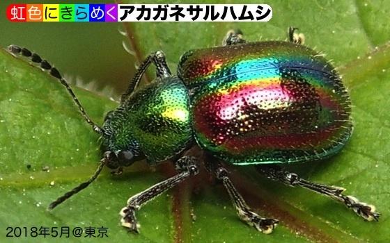 03銅猿葉虫C