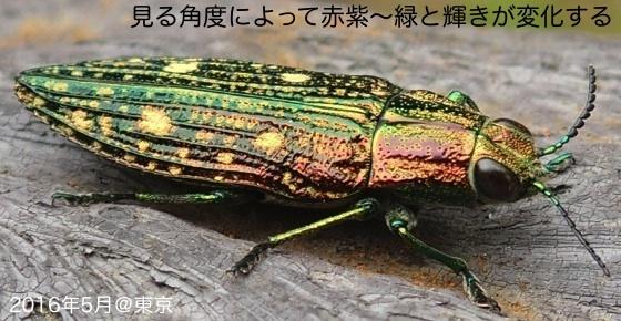 08青斑玉虫B